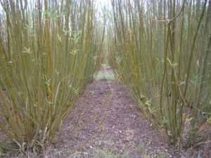 Willow: The fast-track to self-supply woodfuel